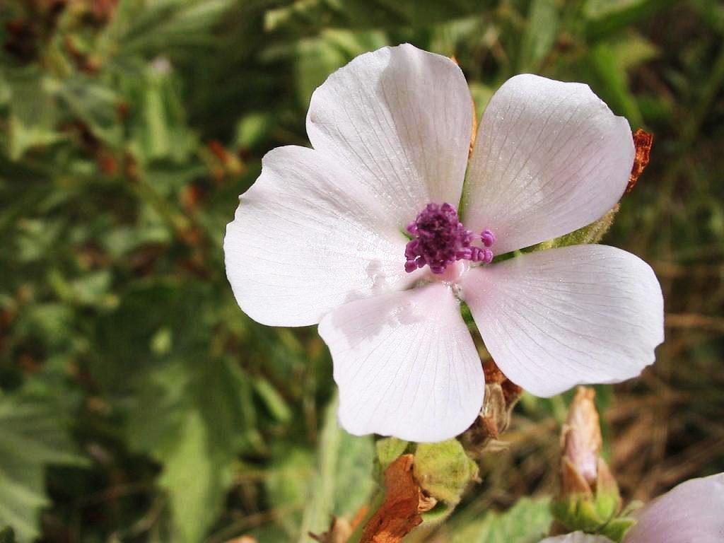 White mallow flower