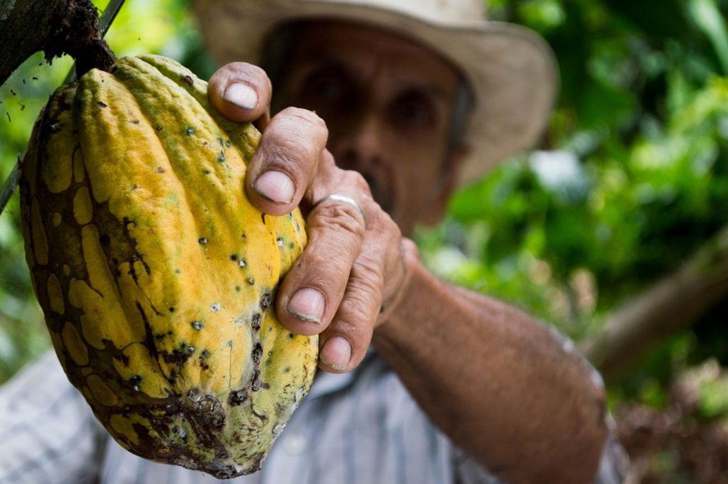 Man picking cocoa
