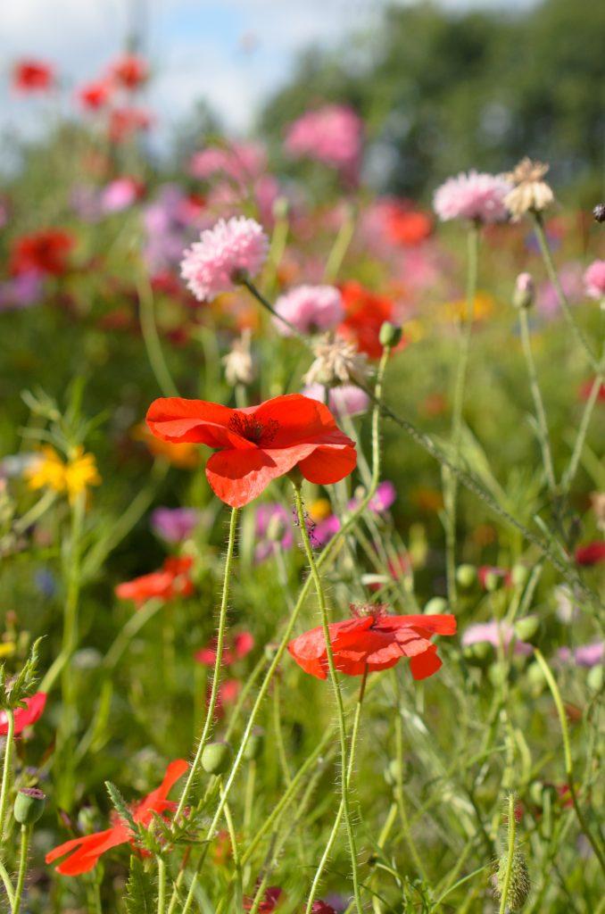 Poppy flower close up