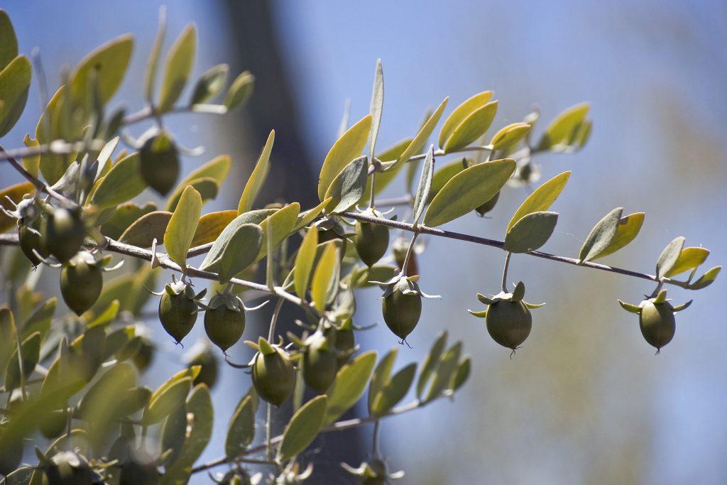 Jojoba fruits