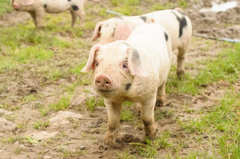 Hello piglet