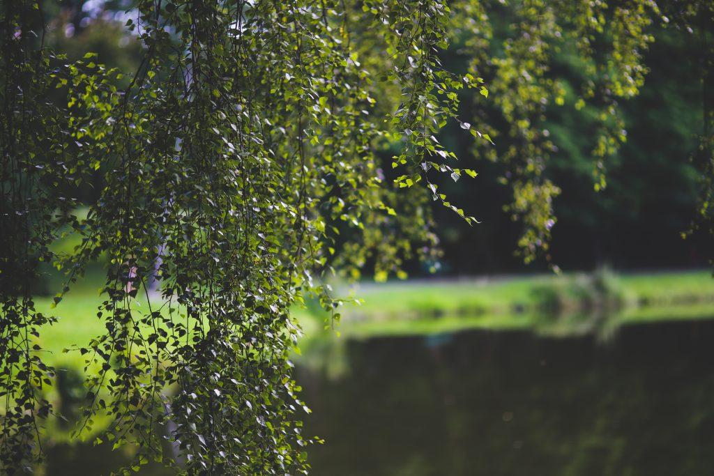 The beautiful birch tree