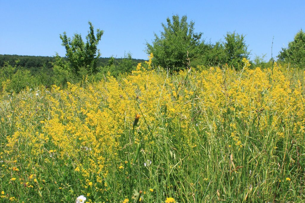 Yellow bedstraw (Galium Verum)
